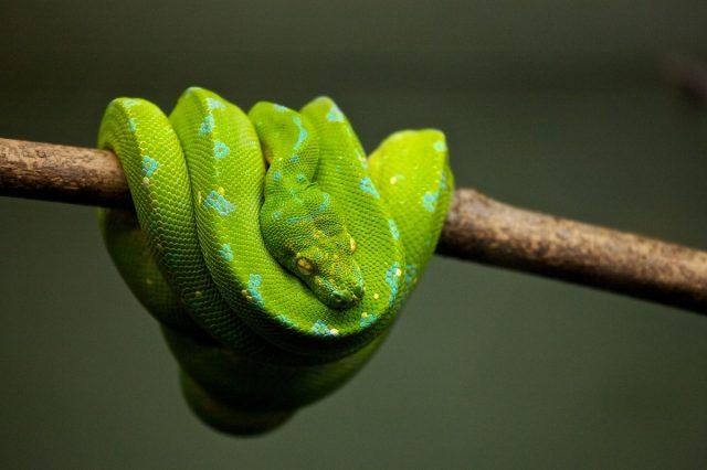 Voilà comment font les serpents pour voler
