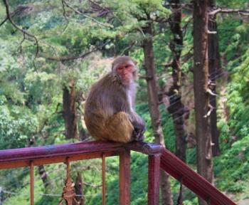 Des singes infectés par le Covid-19 ont réussi à développer une immunité