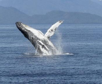 Australie : Deux personnes ont été envoyées à l'hôpital suite à l'attaque d'une baleine à bosse