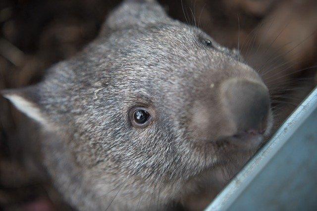 Wombat, ornithorynque, etc : la fourrure de ces animaux est fluorescente
