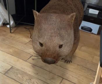Faites apparaître un wombat à côté de vous contre la solitude du confinement