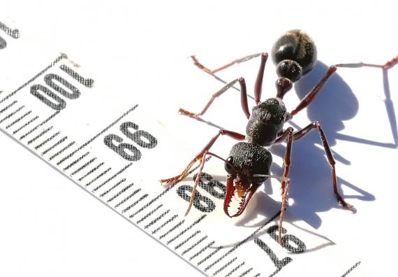 Pourquoi cette fourmi a un génome unique